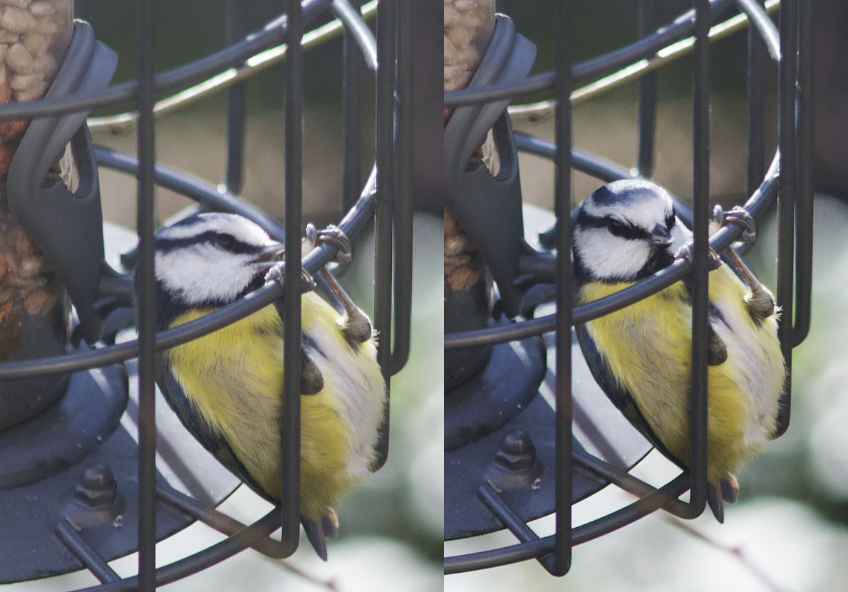 Blue Tit, Cyanistes caeruleus, attacking a kernel.  Hayes, 27 January 2014.