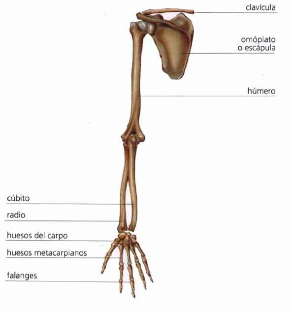 Biología Humana: ESQUELETO APENDICULAR: CINTURA ESCAPULAR Y ...