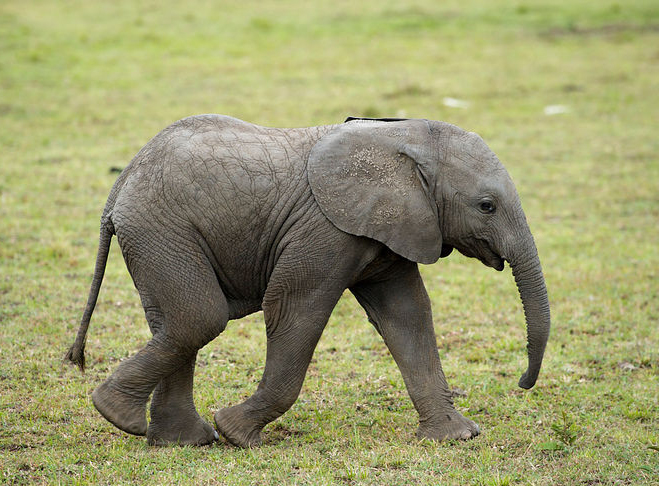 Elephant newborn baby - photo#21