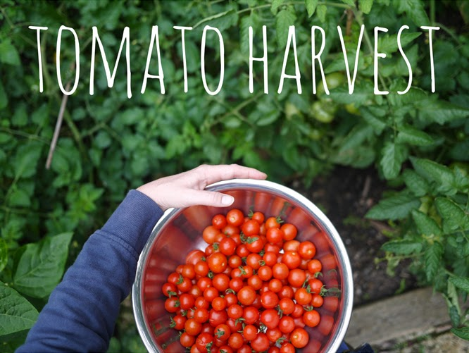 Tomato Harvest - Making Roast Tomato Soup by Alexis at www.somethingimade.co.uk
