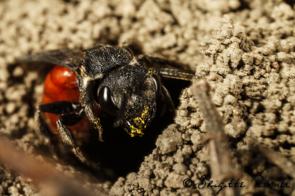 abeille sauvage, abeille coucou