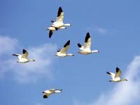migración de las aves
