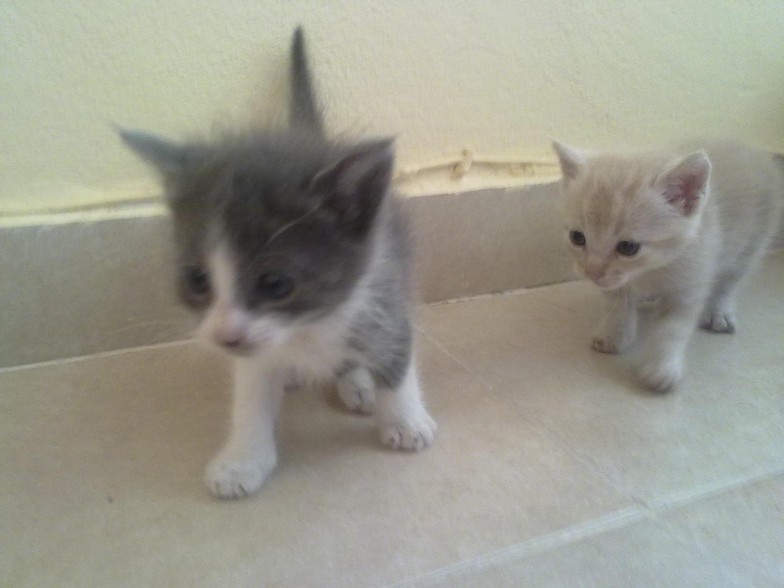 Hola chicos, encontramos ayer 15 de abril tirados estos 2 gatitos, uno es blanco y gris el otro cremita tienen alrededor de 40 dias,el gris es macho y el