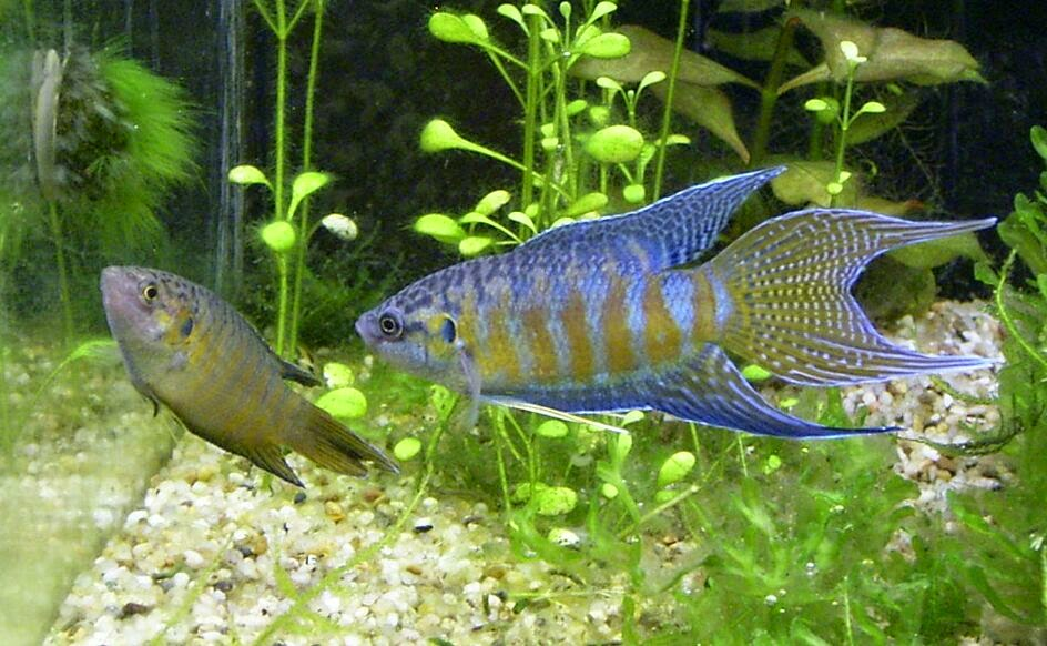 Freshwater frenzy 10 facts about paradise fish for Freshwater fish facts