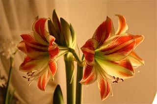 amaryllis-ambiance AMARYLLIS PARA INTERIOR ESTE INVIERNO