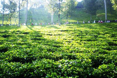 Kebun Teh Wonosari Malang 3