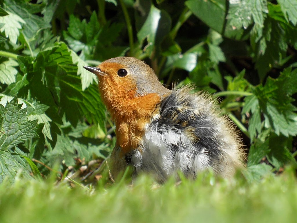 Robin chick, UK