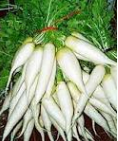 lobak putih