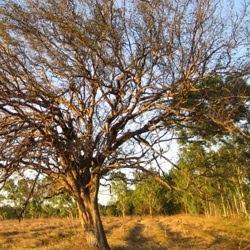 guayacan Caesalpinia paraguariensis
