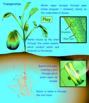 dan manfaat dari transpirasi dapat diketahui dari penelitian dan