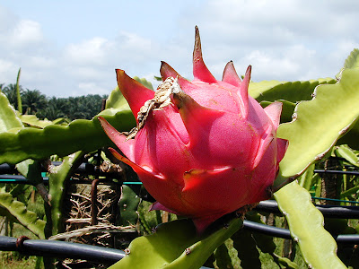 what is dragon fruit for