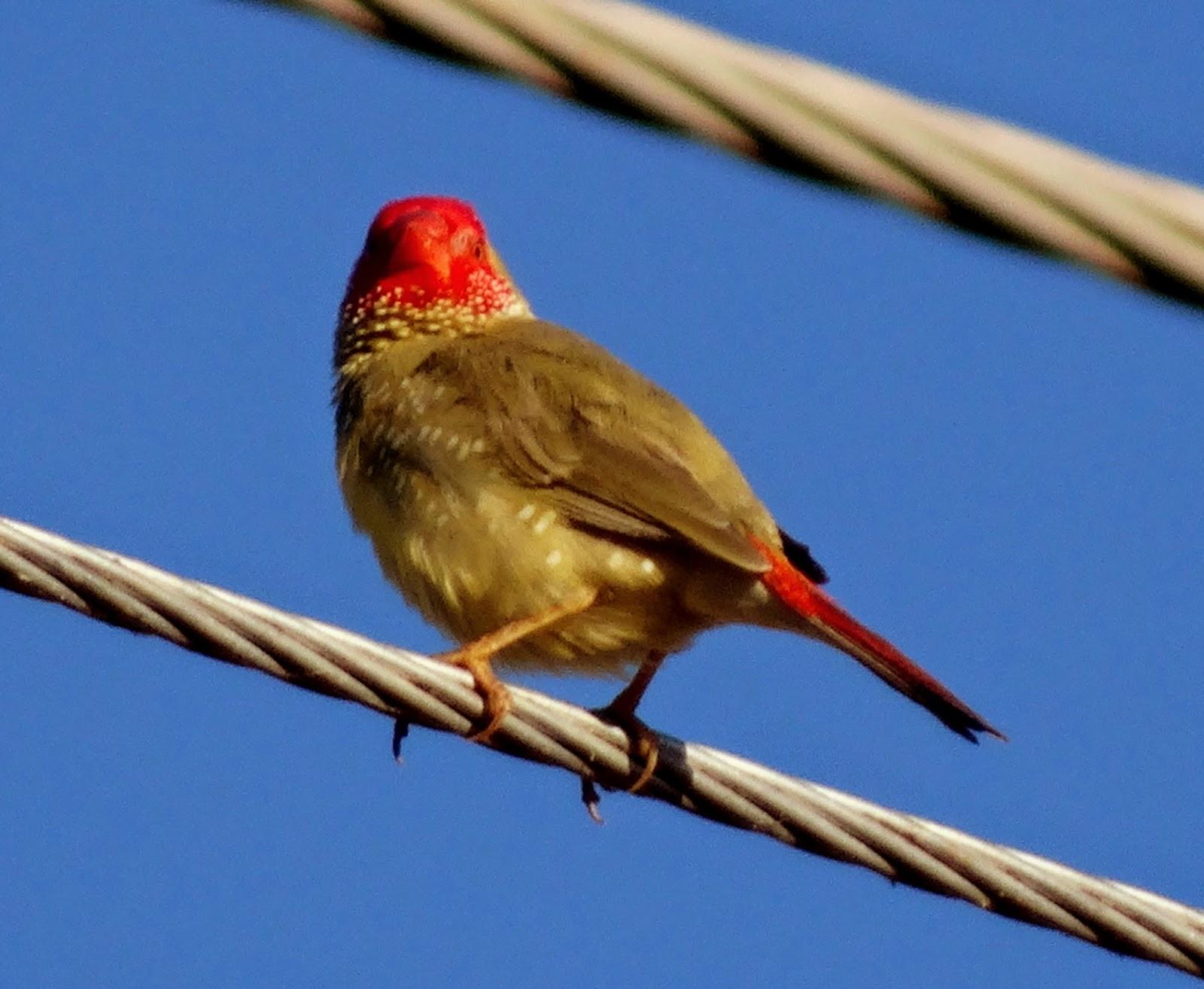 Yellow star finch - photo#12