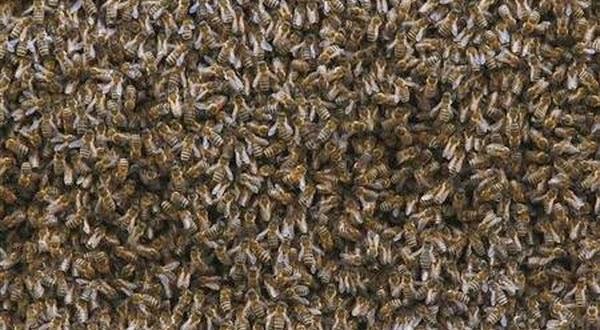 Lebah Pernah Lenyap di Zaman Purba