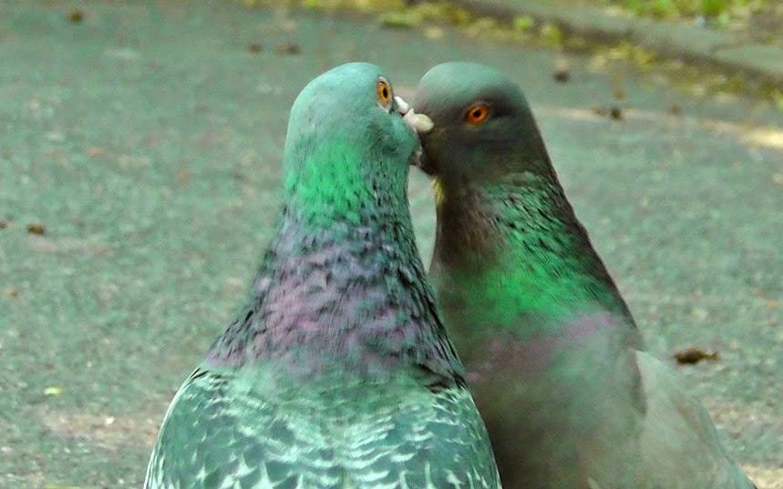 Pigeons Kissing