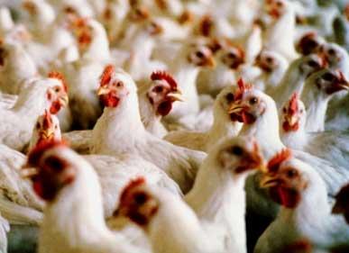 VITERNA Berperan Mencegah Gangguan Pernafasan Ayam
