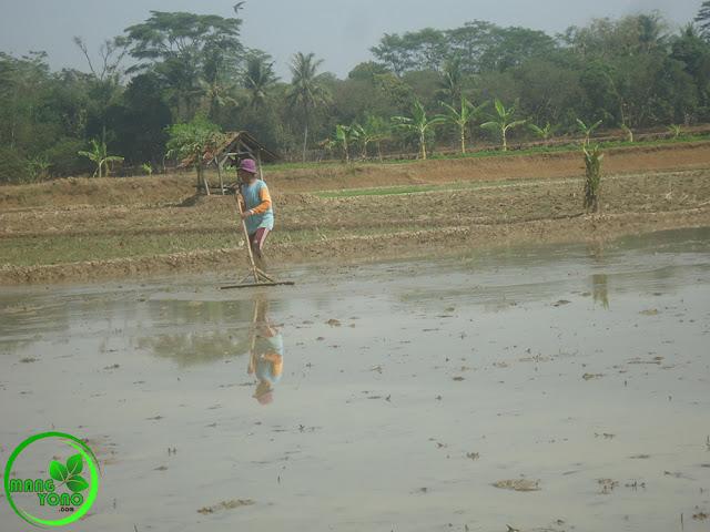 Nyorogan atau meratakan tanah setelah tanah di olah