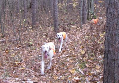 dogs in orange vests