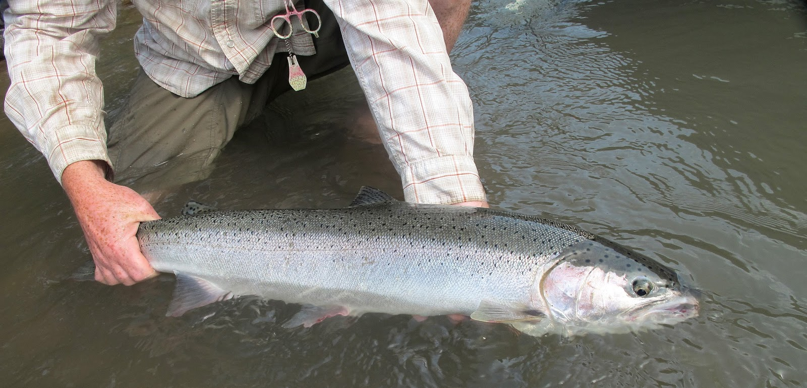 The evening hatch reports klickitat river report 8 4 15 for Klickitat river fishing report