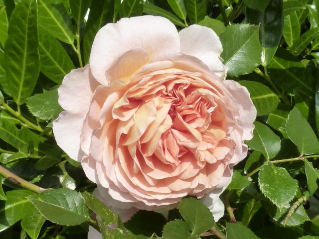 luna s delicious soaps romantische rosen. Black Bedroom Furniture Sets. Home Design Ideas
