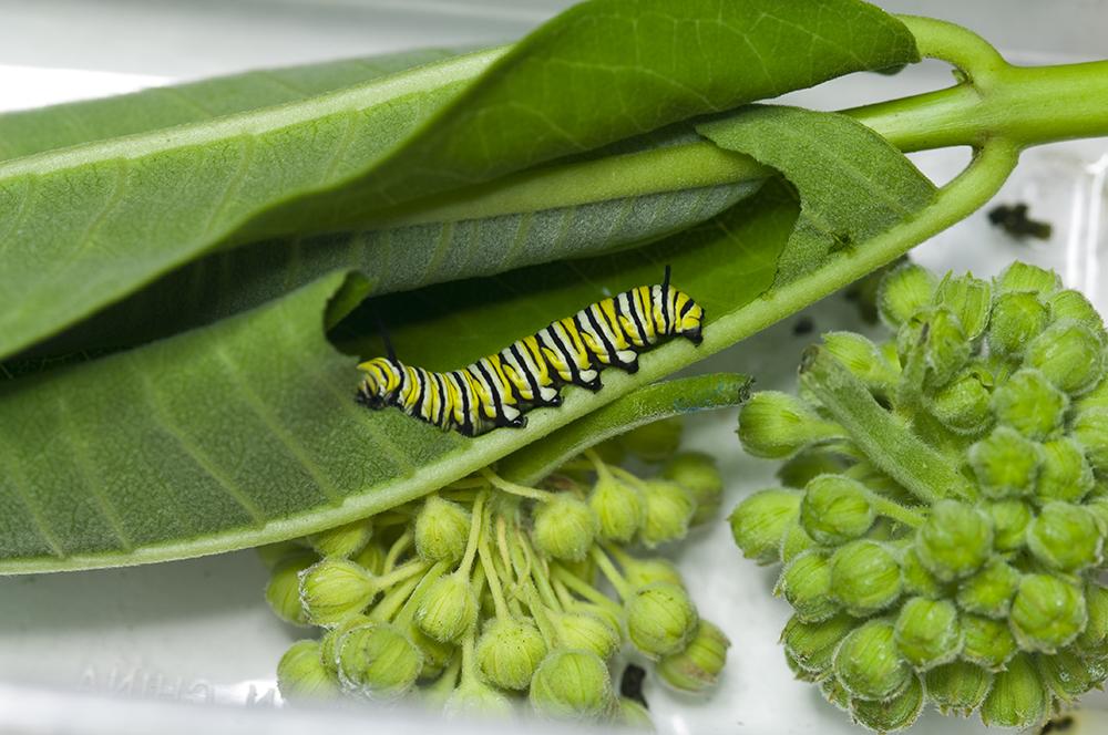 Monarch Caterpillar Food Recipe