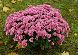 http://fotobabij.blogspot.com/2015/04/chryzantema-pandora-chrysanthemum.html