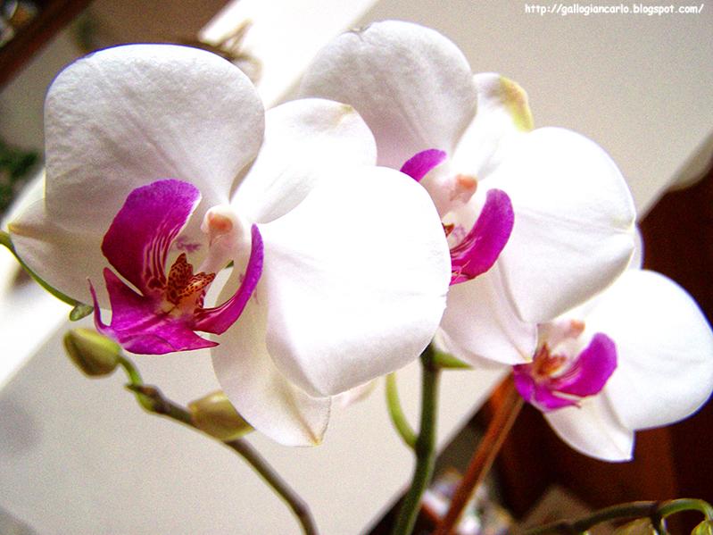 Orchidea phalaenopsis fotografie 2 fotografie ed for Costo orchidea