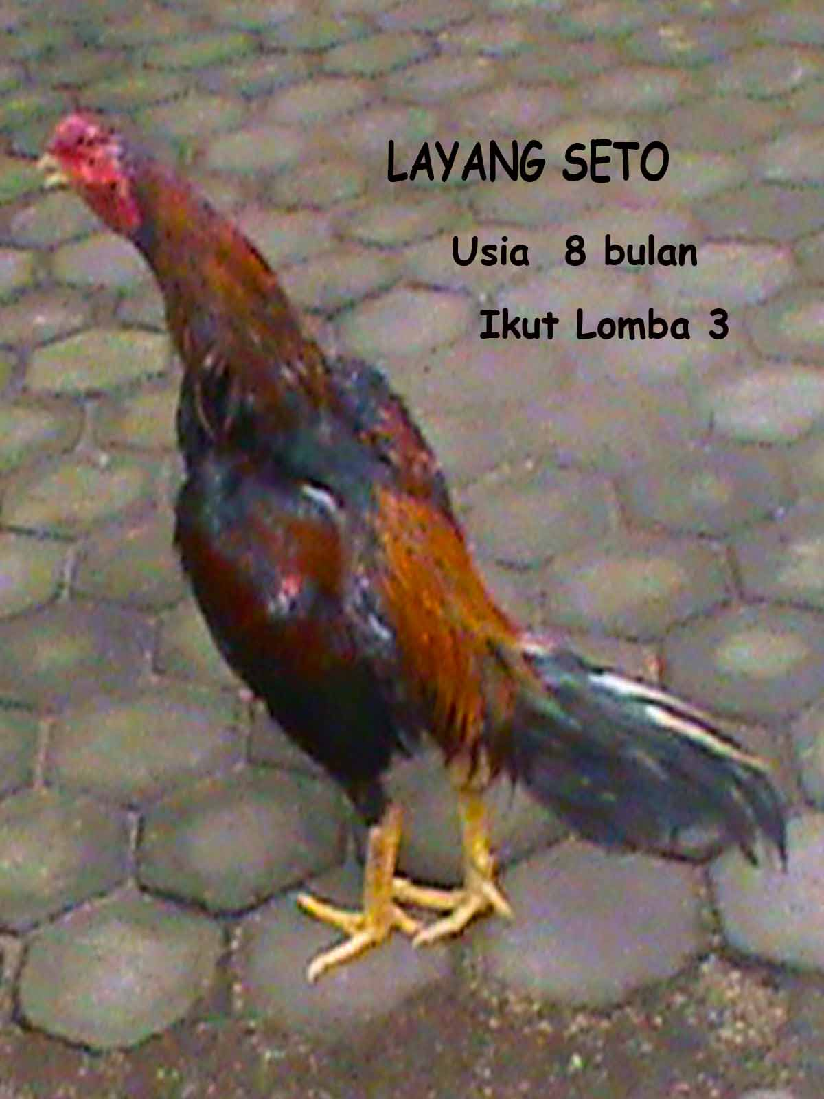 Di jual Ayam Bangkok Bibit (Good Quality)