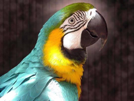 Папуги не лише наслідують звукам