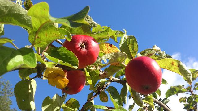 äpplen Baggböle