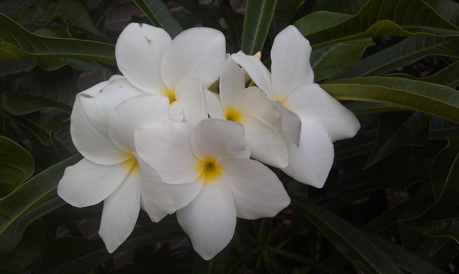 Plant Photography: Plumeria pudica White Frangipani