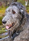 Ulvehunden Heike