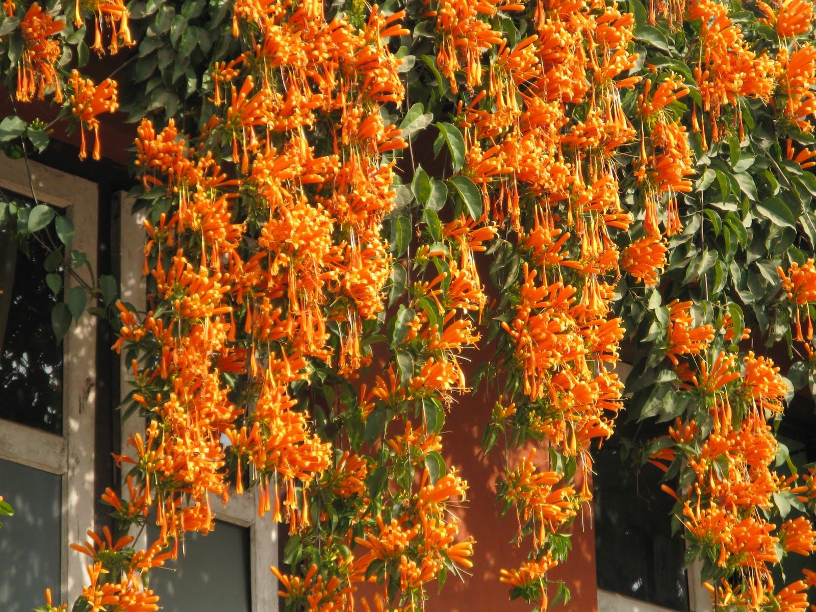 festa junina jardins : festa junina jardins:Florida Flame Vine