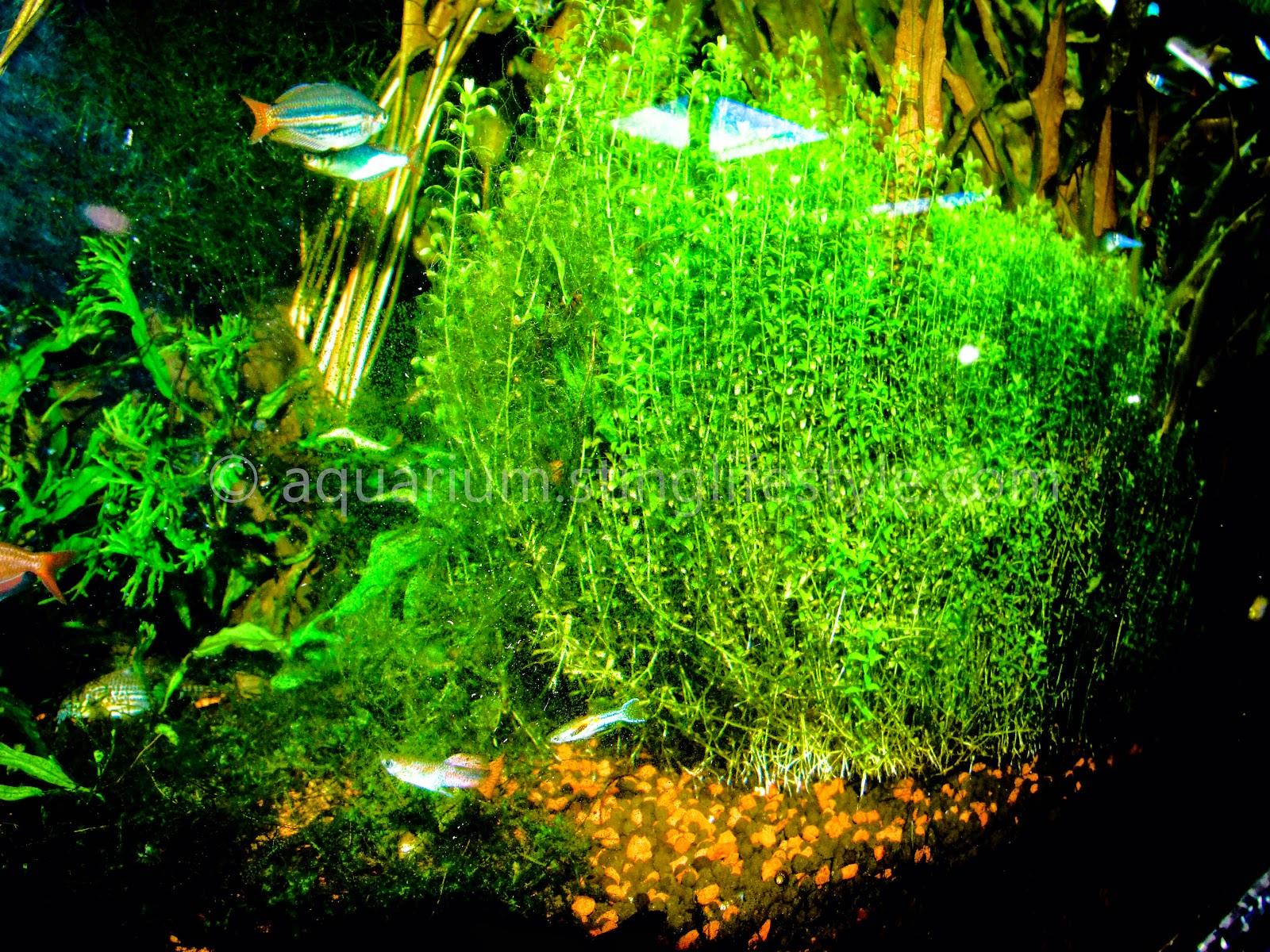Planted aquarium aquarium info for Plante aquarium