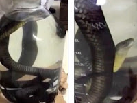 Sadis, Kobra Hidup Dimasukkan ke Dalam Alkohol demi Minuman Kuat