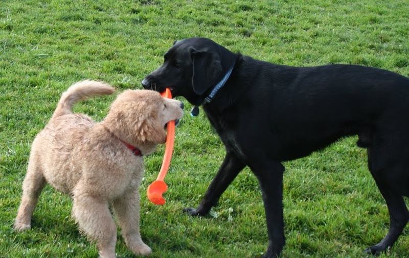 same golden retriever puppy with an orange chuck it in his mouth, trying to pull it away from dagan's mouth