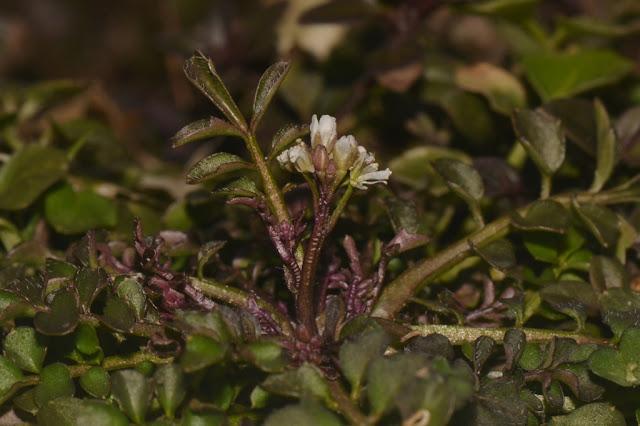 Bittercress or Shotweed flowers