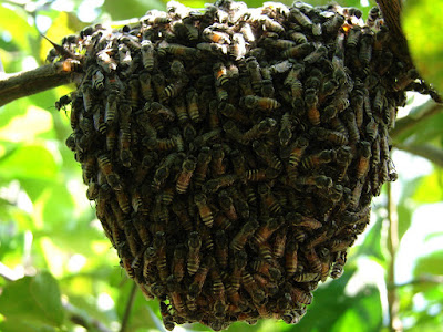 Bees home in the Mango tree