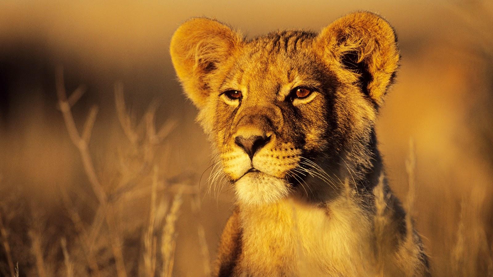 Wonderful   Wallpaper Horse Lion - Lion+Wallpaper%252C+animals%252C+lion%252C+savannah%252C+nature  Photograph_429177.jpg