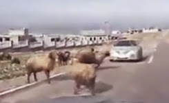 Ram mistakingly headbutt's a passing Car