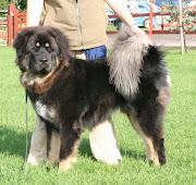 Tibetan mastiff dog pics. The breed of Tibetan Mastiff dogs, can trail its .