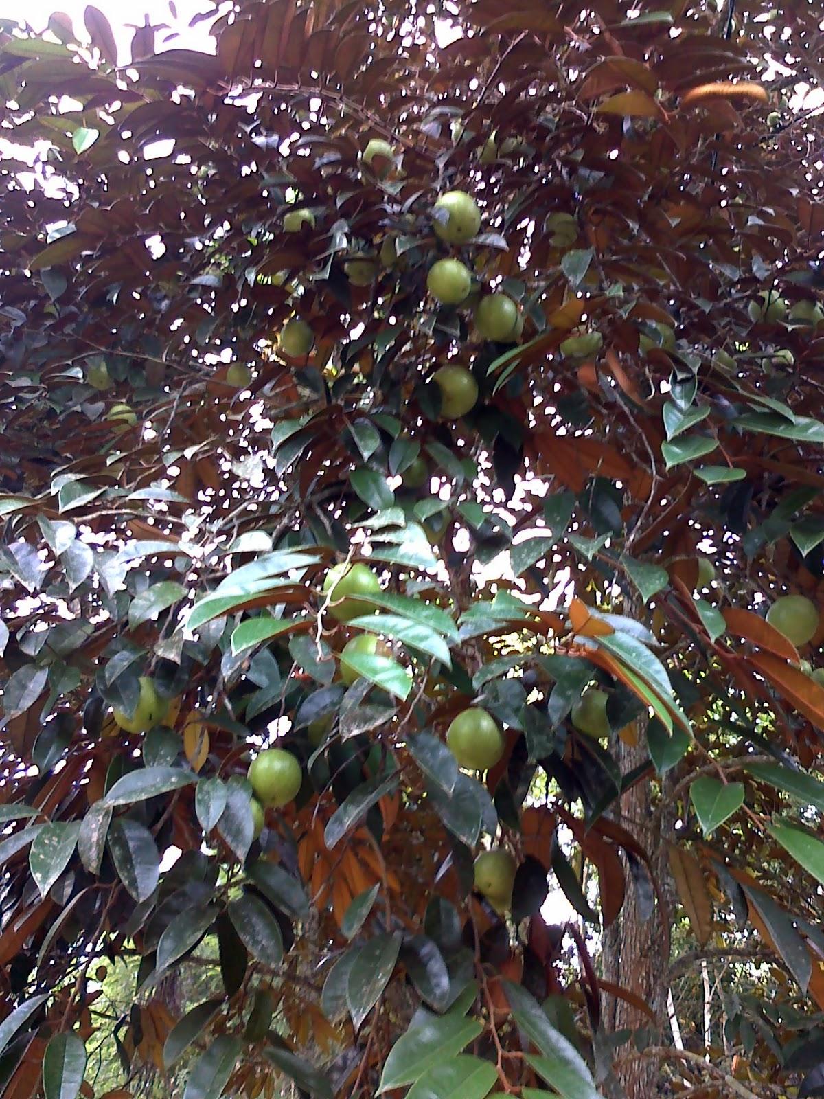 dalam benak hati manfaat buah kenitu