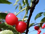 El fruto maduro