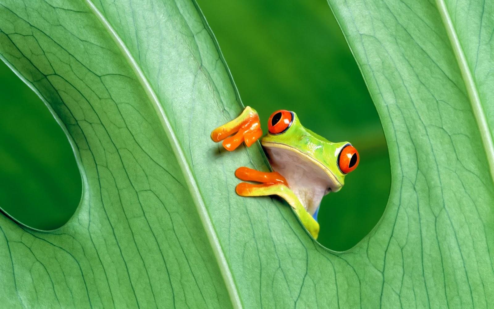 """<img src=""""http://1.bp.blogspot.com/-5YdxaMX6uM8/Uuknf7014tI/AAAAAAAAKm0/xGsNN3rVmUM/s1600/frog-wallpaper.jpg"""" alt=""""frog wallpaper"""" />"""
