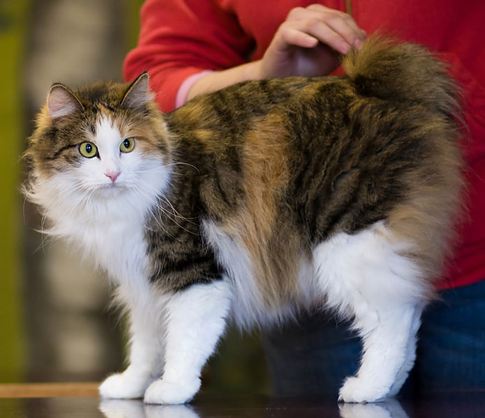 Healthiana Kurilian Bobtail Cats