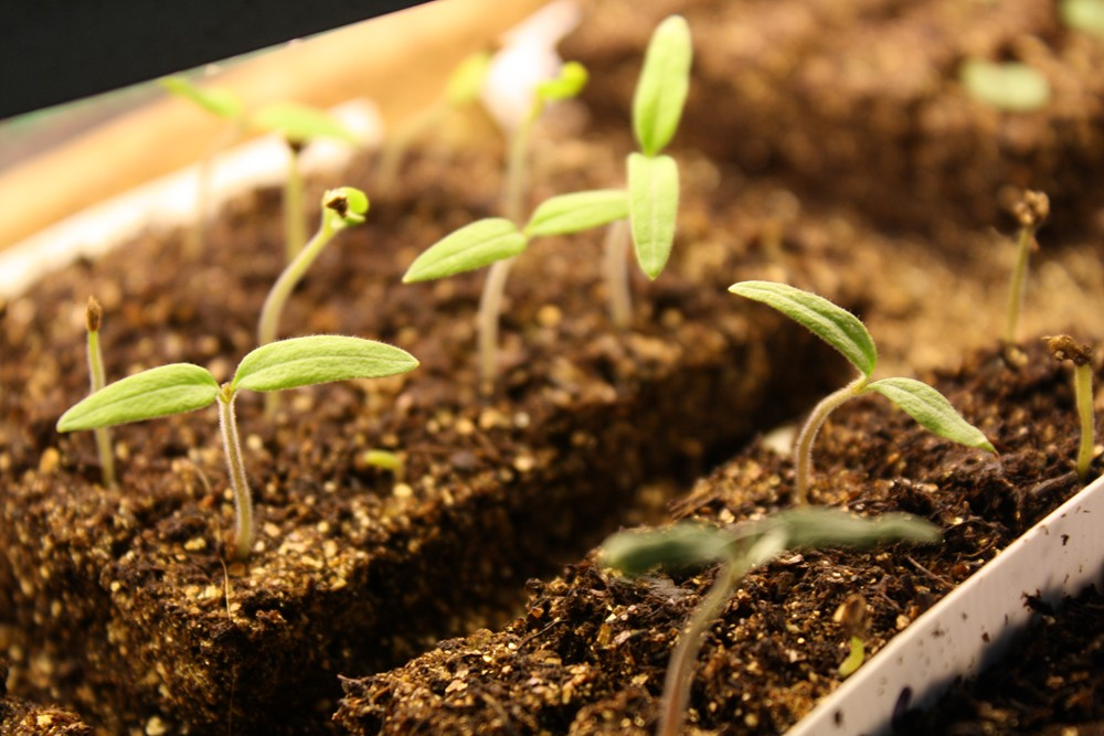 how to get tomato seeds to germinate