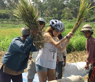 Joining Balinese farmers harvesting the rice