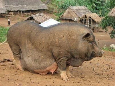 10 argumen ilmiah babi haram Bagi umat Islam