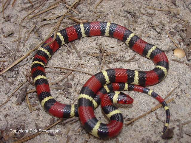 snake Amazing Colorful Snakes   Most Beautiful Venomous Snakes of the World