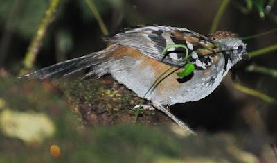 Australian Logrunner (Orthonyx temminckii)