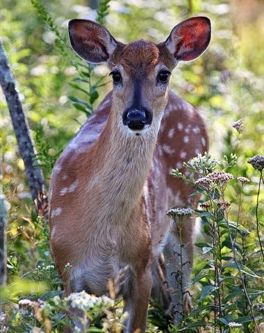 http://www.statesymbolsusa.org/Mississippi/whitetail_deer.html